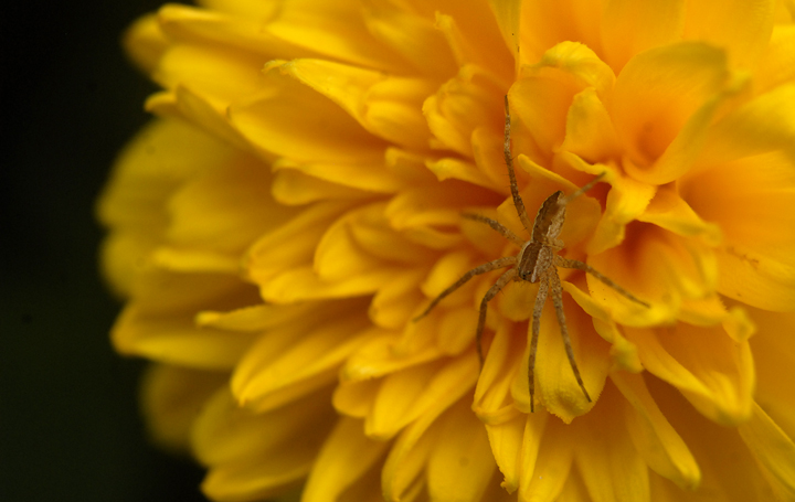 spider on a yellow flower